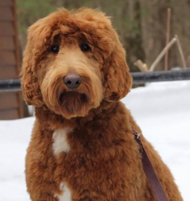 Angel Breeders Home Page – NJ's Premier Labradoodle Breeder